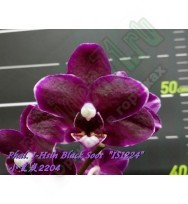 "Phal. I-Hsin Black Soot ""IS1224  предзаказ"