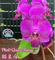 Phal. Queen Barry 2,5»