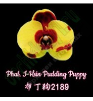 Phal. I-Hsin Pudding Puppy  предзаказ