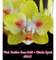 Phal. Brother Sara Gold × Chiada Spark