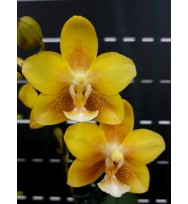 Phal. Yellow Chocolate ароматный