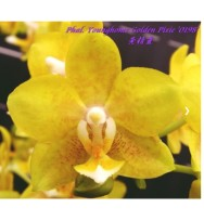 Phal. Younghome Golden Pixie '0198
