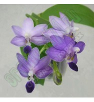 Phal. Purple Martin v.blue предзаказ