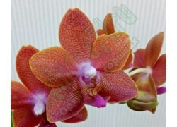 Phal. Pingtung Bronze Age aroma