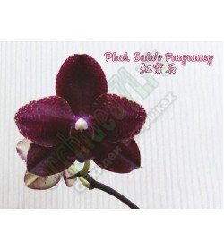 Орхидея Phal. Salu's Fragrancy