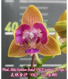 Phal. Miki Golden Sand '1363' (peloric - 3 eyes)